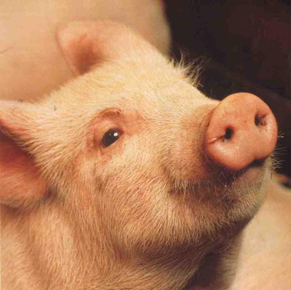 Nieuwe feiten over de intelligentie van varkens