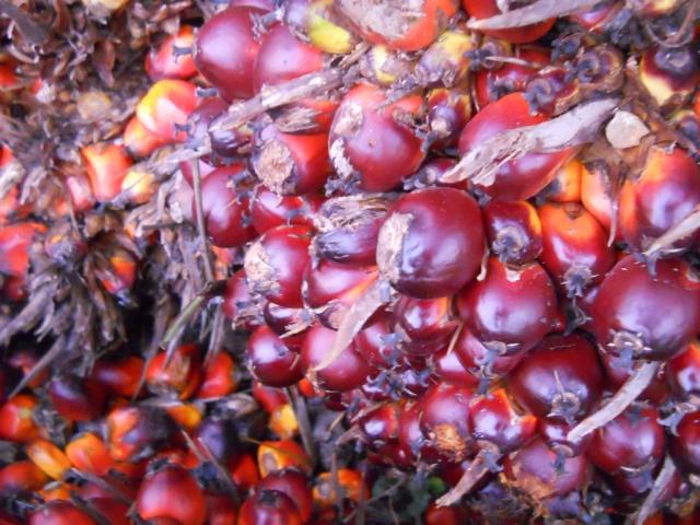 Vruchten van de oliepalm. Bron:  manoj_k_mohan, Flickr